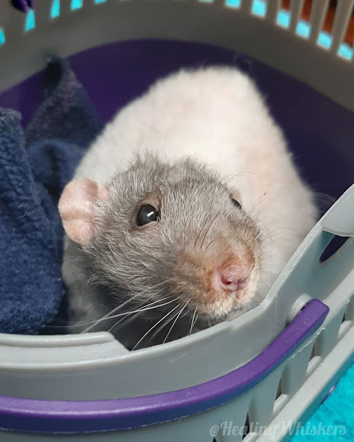 Vincent the therapy rat gets diagnosed with cancer