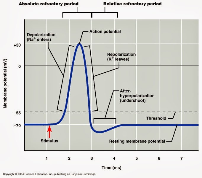 relationship between action potential and muscle contraction definition