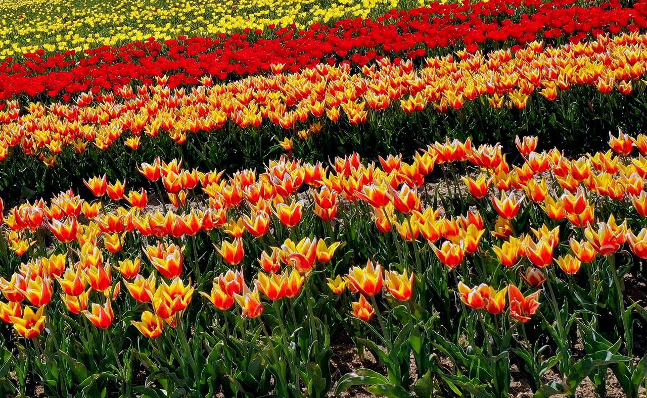 polje_tulipani_turska_cvijeće