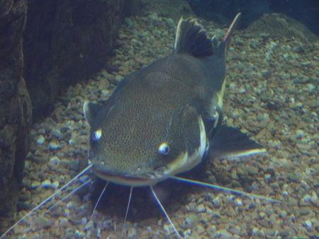 gambar ikan lele keli (Clarias Loiacanthus)