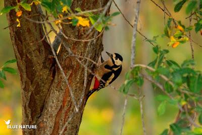 Pico picapinos (Dendrocopos major) entre la frondosidad de los árboles que acompañan la subida.