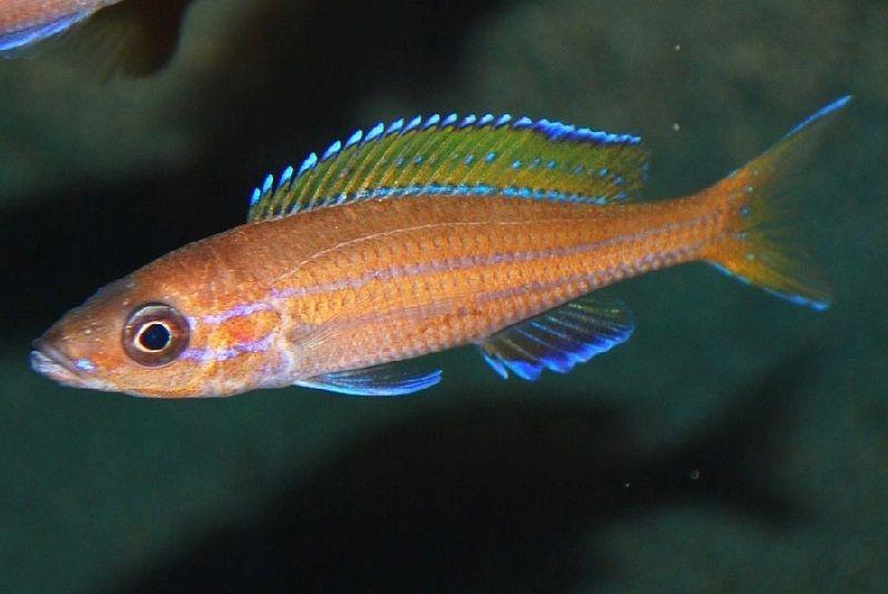 Gambar 9 Jenis Ikan Cichlid Afrika Dari Danau Tanganyika-Blue Neon Cichlid ( Paracyprichromis nigripinnis )