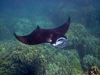 Inilah 5 Fakta Ajaib Ikan Pari Manta, Sehingga Menjadi Incaran Penyelam