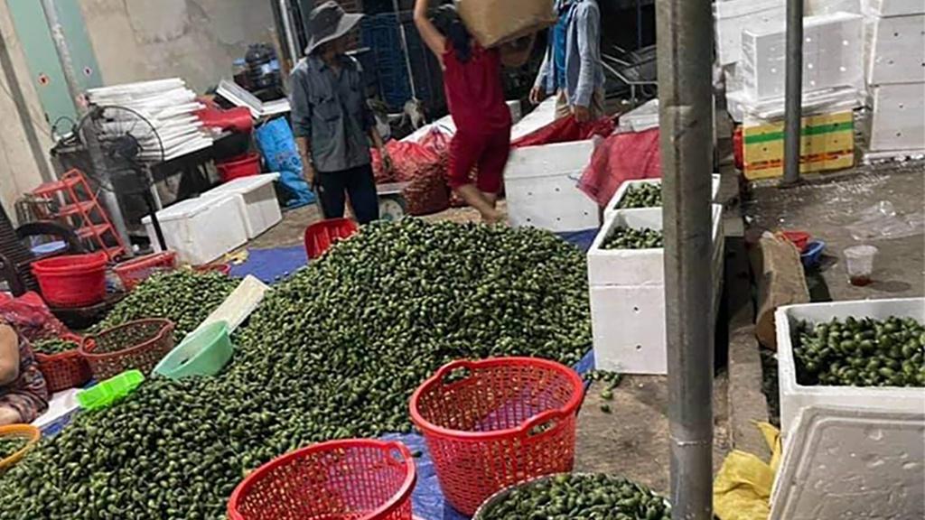 Giá cau non ở Đắk Lắk tăng cao ngất ngưởng khi thương lái tăng thu mua xuất khẩu đi Trung Quốc. Ảnh: Đinh Đang