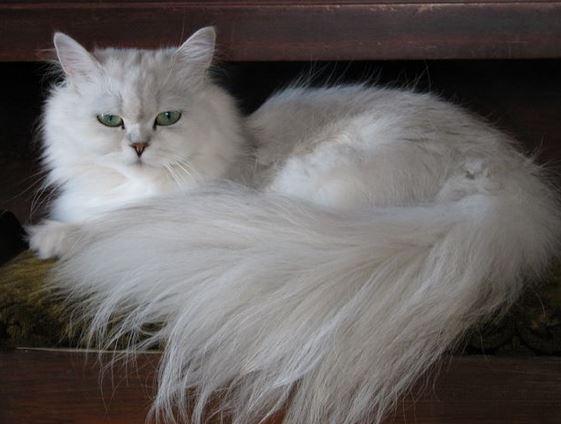 Karakteristik Kucing Ragdoll