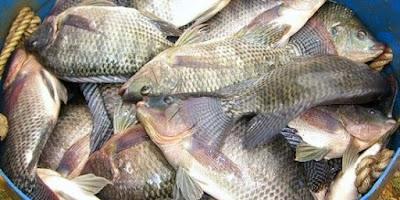 Racikan Umpan Ikan Nila Paling Jitu Ampuh Banget  Lihat 10 Racikan Umpan Ikan Nila Paling Jitu Ampuh Banget