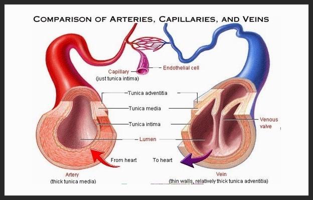 Struktur arteri dan vena