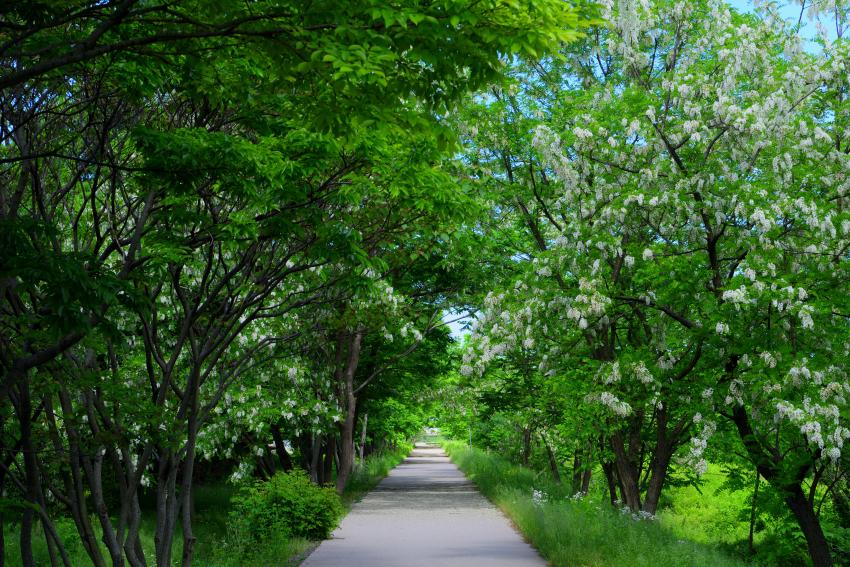 犀川緑地の白い藤