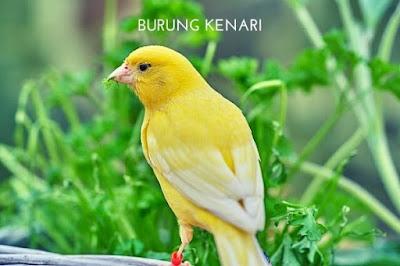 Istilah Seri Burung Kenari