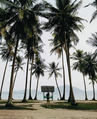 Pohon kelapa pantai ketapang