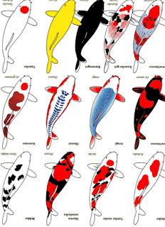 Berbagai jenis ikan koi