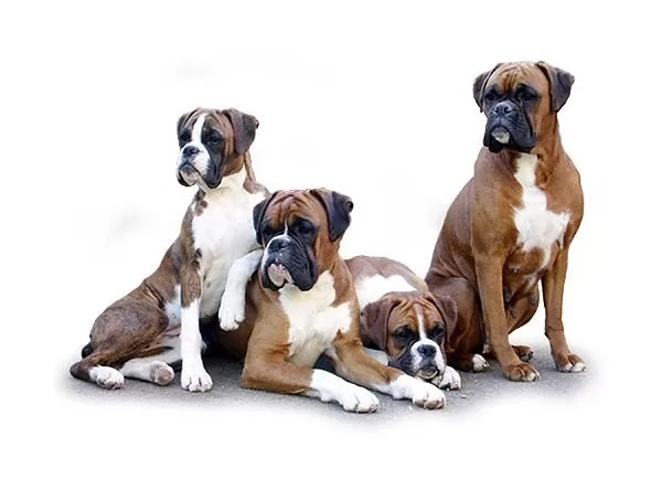 10 of the most famous and best types of large dogs in the world with pictures | cat and dogs