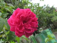 Bunga Mawar Yang Cantik, Beragam dan Bermanfaat