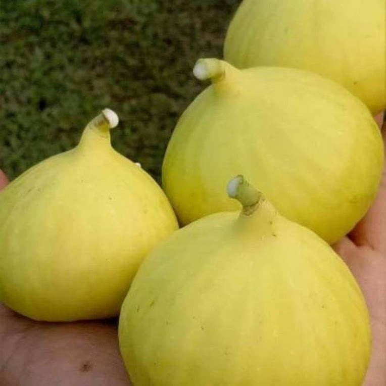 bibit buah tin FC yellow banyuwangi Tegal