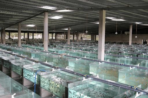 Cara Budidaya Ikan Hias Untuk Pemula
