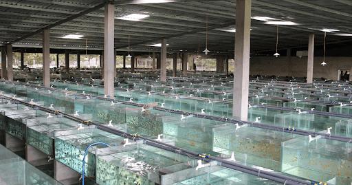 Cara Budidaya Ikan Hias Untuk Pemula Ikanesia Id