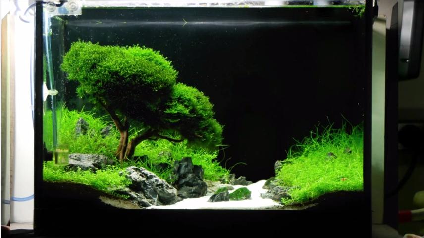 hướng dẫn tự làm hồ thủy sinh bon sai cấy rêu - hồ sau 2 tháng tuổi