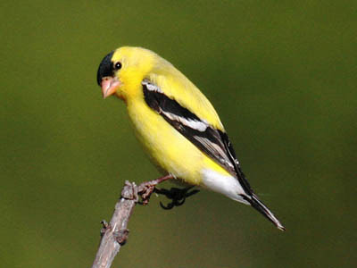 Photo of male American Goldfinch in breeding plumage on a stick