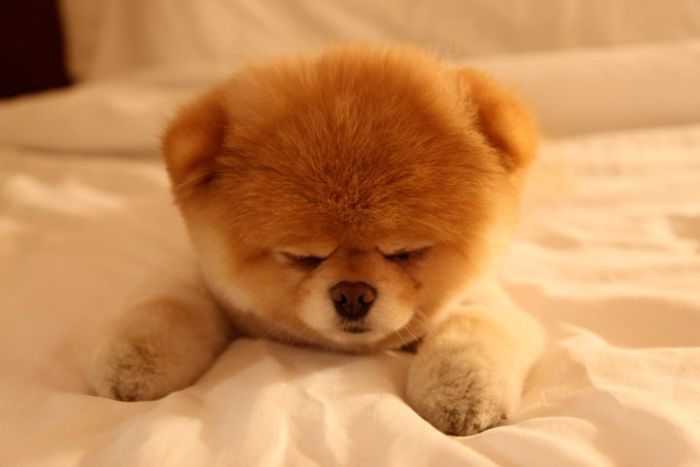pomeranian boo dogs my funny beautiful pomeranian puppy named boo pictures 6147