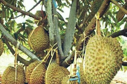 5 Manfaat Durian yang Harus Kamu Tahu!