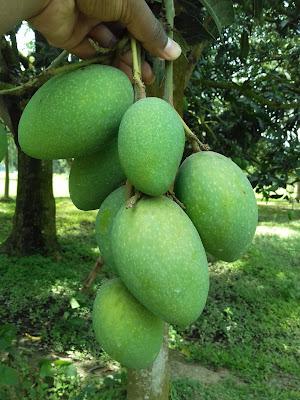 This is a Fozli Mango from Chapai Nawabgonj.