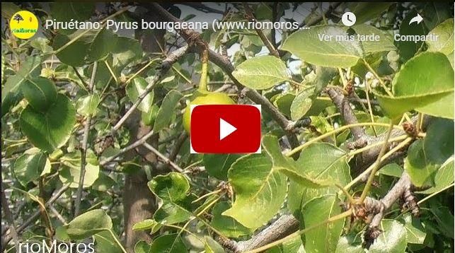 Vídeo de Pyrus bourgaena o Piruétano