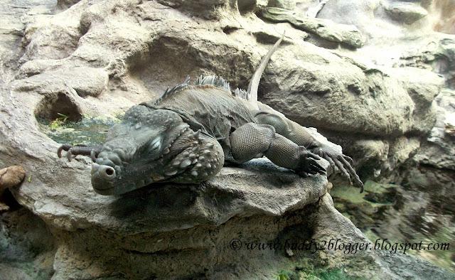 Blue Iguanas Shedd Aquarium