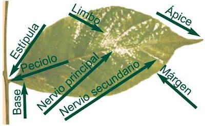 Imagen de la hoja con sus partes