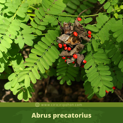 Abrus precatorius
