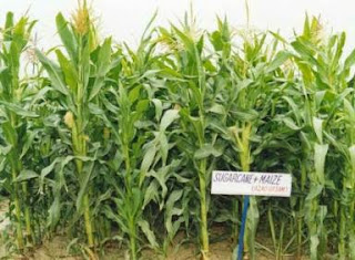 PROFITABILITY OF INTERCROPPING IN AUTUMN PLANTED SUGARCANE