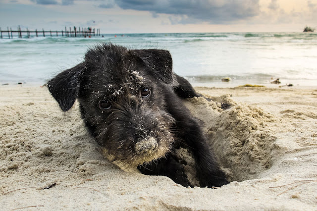 A black Yorkshire Terrier digs a hole in the sand at the beach