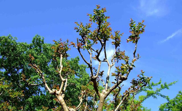 青い空と芽吹いたサルスベリ