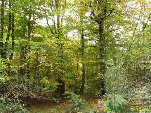Hayedo en el Bosque de Pome