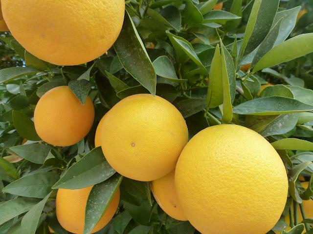 5 Cara ampuh membasmi hama lalat buah pada jeruk