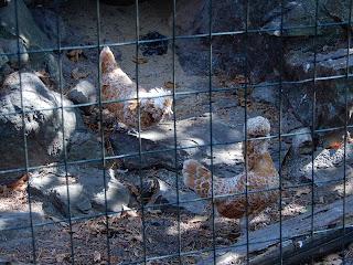 Parco Gallorose(ガッロロゼ公園)鶏の一種