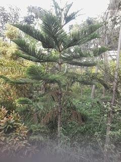 Jual Pohon Cemara Norfolk   Aneka Macam Pohon Cemara   Jasa Tukang Taman