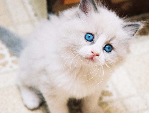 Cara Merawat Kucing Anggora