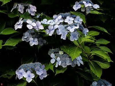 Gaku-ajisai (Hydrangea macrophylla f. normalis) flowers: Engaku-ji