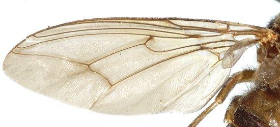 крыло мухи цеце_почему кусают насекомые_магия биологии