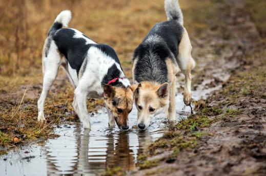 Dlaczego pies pije wodę z kałuży?