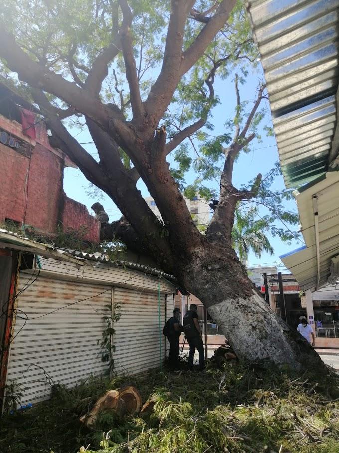 Dadsa intensifica intervenciones en árboles caídos por fuertes brisas en distintos puntos de la ciudad