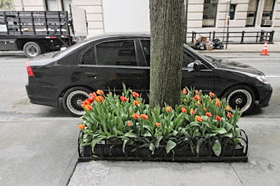 "This photo features tulips where each one's petals have red and yellow in their coloring. Tulips thriving in a sturdy, masterfully crafted tree pit. I've published a number of posts re this flower type on my blog.  They can be read @  https://bit.ly/3djkG2Q  I've also included an array of unusual tulip types in volume one of my book series, ""Word In Our Beak.""  Info re these books can be found within a post on my blog @ https://bit.ly/3tU6ymA  Moreover, I've also published posts which discuss tree pits and they can be read @ https://bit.ly/3nniZoH"