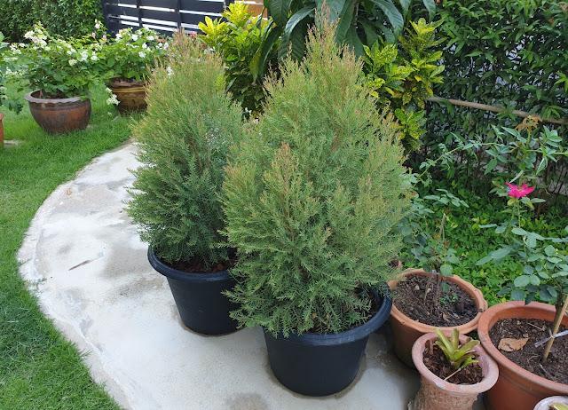 Cây tùng hoàng kim trồng trang trí sân vườn
