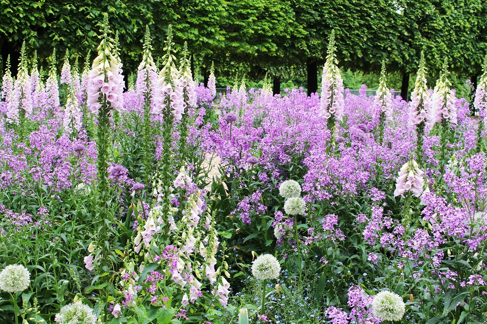 Digitalis purpurea in Jardin des Tuileries - Paris travel & lifestyle blog