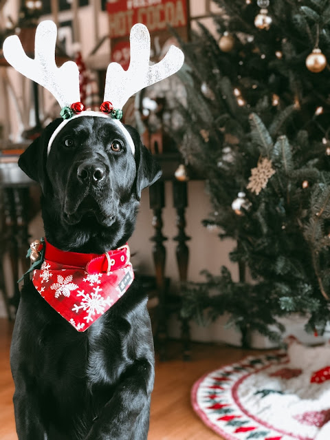 """Iris """"sitting pretty"""" in front of the Christmas tree. She has a red collar on and a bandana that's red with white snowflakes. She is wearing white reindeer antlers with bells on them."""