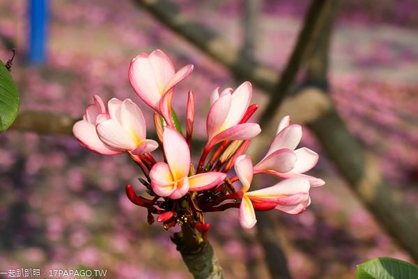 台中太平|大源公園|櫻花和風鈴木齊開|豐年社區公園|別有洞天裝置藝術
