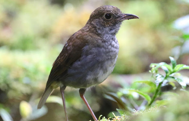 Anis-papua Besar, Greater Ground-robin, Amalocichla sclateriana