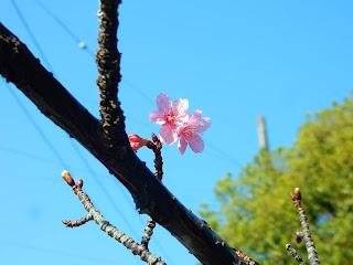 鎌倉宮の河津桜