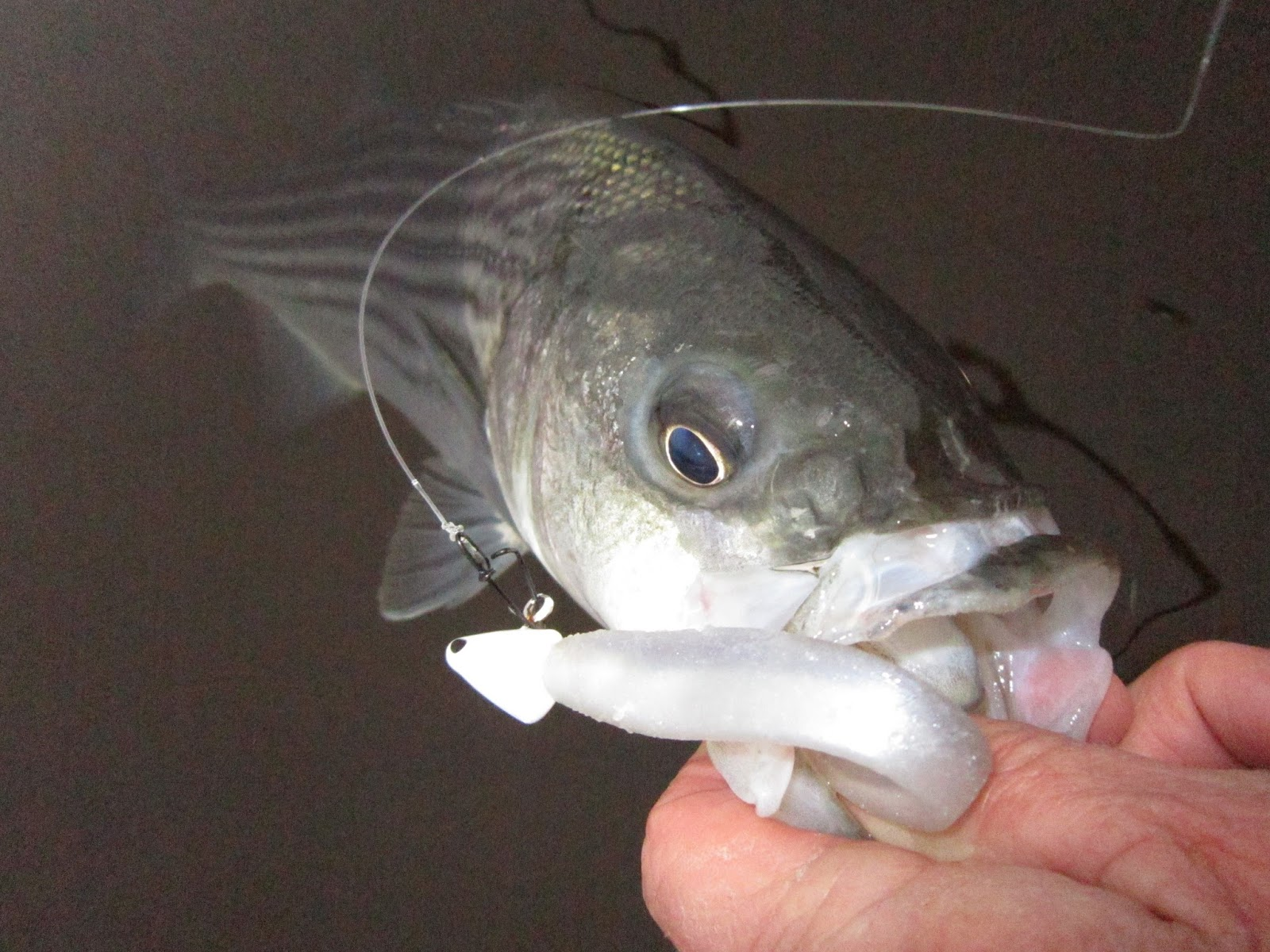 Rhode island striped bass nvjuhfo Images
