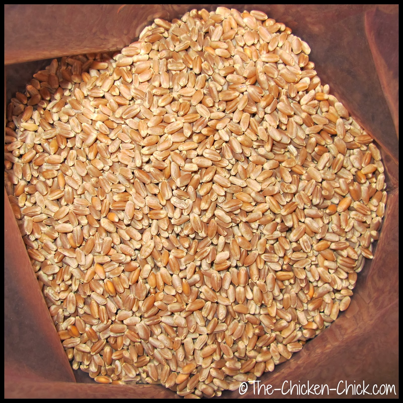 Wheat is one of the most common and easily sprouted grains for chicken fodder